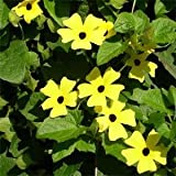 Outsidepride Thunbergia Yellow - 100 Seeds