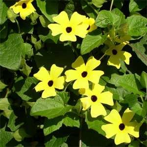 Outsidepride Thunbergia Yellow - 100 Seeds