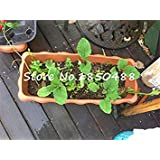 "/""USA/"" HEIRLOOM Organic Arnica 50-400 seeds Medicinal"