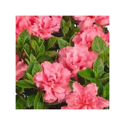 "Azalea-Bloom-A-Thon-Pink-Double - 8"" Jumbo Pot (Shrub) : Garden & Outdoor"
