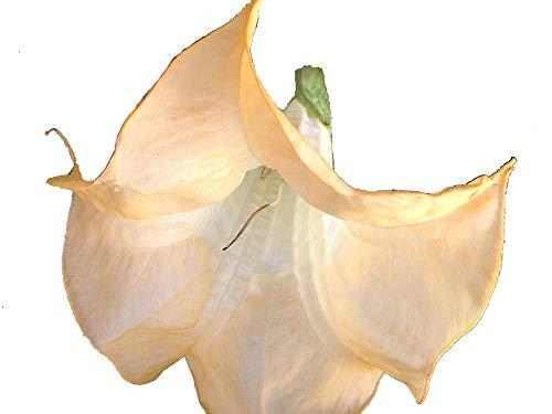 - Olympic Flame Brugmansia Angels Trumpet Live Tropical Plant Fragrant Large Golden Yellow Orange Flower Starter Size 4 Inch Pot Emeralds TM