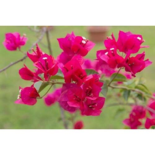 Bougainvillea (San Diego Red) 15-20 Inch Height in 1 Gallon Pot Live Plant #BS1