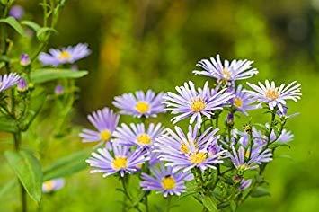 IDEA HIGH European Michaelmas-Daisy - Lavender Blue, Long-Lasting Flowers - ()