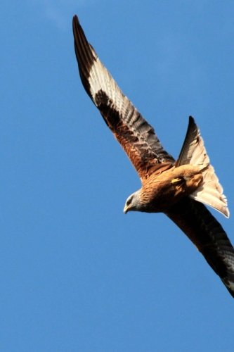 Red Kite Raptor Soaring High in the Sky Journal: Take Notes, Write Down Memories in this 150 Page Lined -
