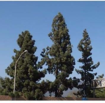 VISA STORE 50 Pino Canario Semillas de Semillas, Pinus canariensis