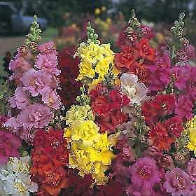 (Snapdragon Madame Butterfly Mix 500 Seeds)