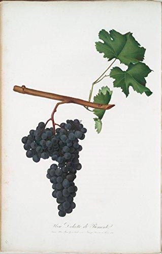 Historic Pictoric Print | Uva Dolcetto di Piemonte. [Dolcetto di Monferrato, o Uva d'Acqui ; Dolcetto grapes], 1817 | Vintage Wall Art | 24in x 36in