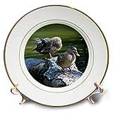 3dRose Susans Zoo Crew Animal - Mallard Ducks on Rocks Birds - 8 inch Porcelain Plate (cp_294901_1)