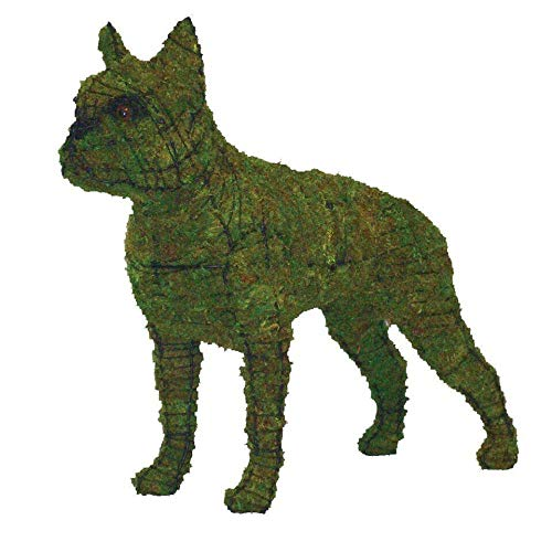 Boston Terrier 23
