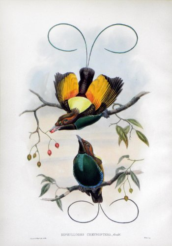 Diphyllodes Chrysoptera, Gould (Golden-winged Bird of - Bird Prints Gould