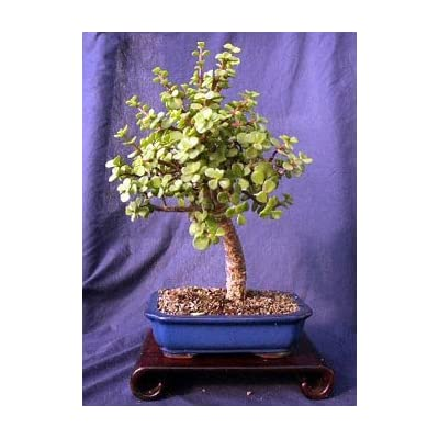 Indoor Bonsai Tree - Dwarf Jade : Bonsai Plants : Grocery & Gourmet Food
