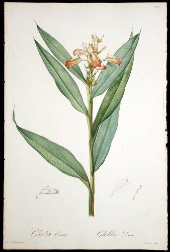 Indian Ginger, Indian Alpinia