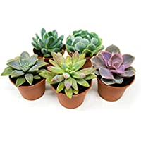 Organic Seeds: 5 Pack Fully Rooted Succulent Live Potted Succulents Indoor De by Farmerly