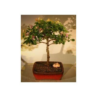 Bonsai Boy's Flowering Lavender Star Flower Bonsai Tree - Large Grewia Occidentalis: Garden & Outdoor