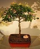 Bonsai Boy's Flowering Lavender Star Flower Bonsai Tree - Large Grewia Occidentalis