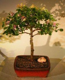 Bonsai Boy's Flowering Lavender Star Flower Bonsai Tree - Large Grewia Occidentalis by Bonsai Boy