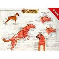 Canine Muscular Anatomy Chart