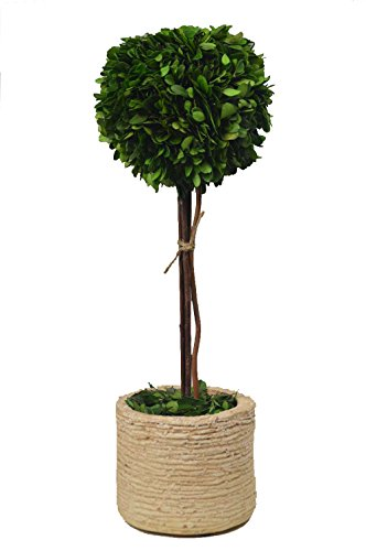 Galt International Topiary Plant with Decorative Pot, 18-Inches Naturally Preserved Real Boxwood by Galt International