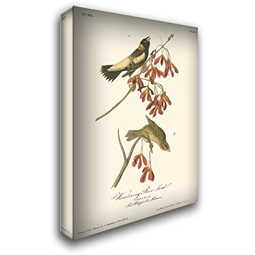(Wandering Rice Bird 20x24 Gallery Wrapped Stretched Canvas Art by Audubon, John James)