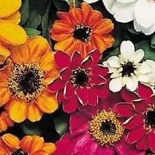 50+ Zinnia Profusion Mix / Disease Resistant Flower Seeds