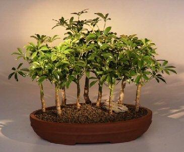 Schefflera Umbrella Plant - 9