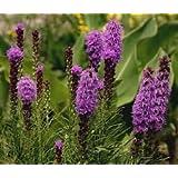 Blazing Star GAYFEATHER Liatris Spicata - 50 Seeds