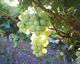 "(1 Gallon) THOMPSON Seedless Grape Vine, sweet excellent flavored""White"" Green Grape, large clusters on vigorous growing vines."