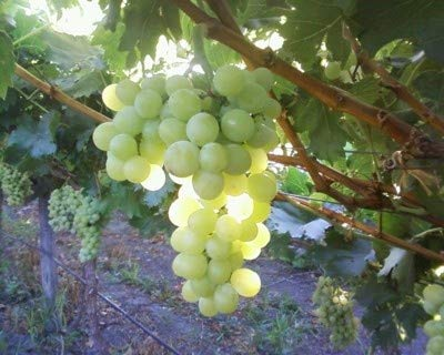 grapes on a vine - 2