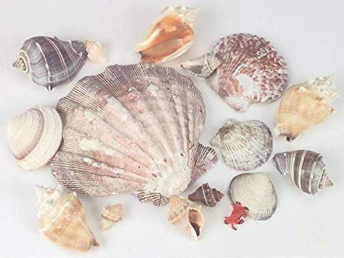 - U.S. Shell 690605 Sea Shells in Lions Paw Shell, 11.2-Ounce, Natural