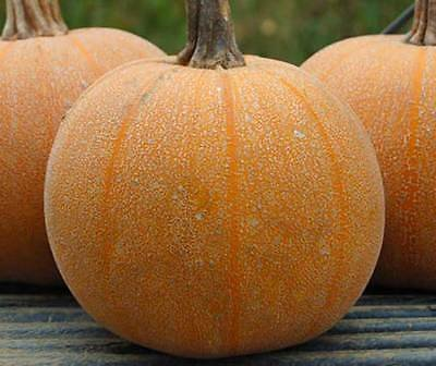 Pumpkin Winter Luxury - 20 Seeds - Curcurbita Pepo Pie Pumpkin
