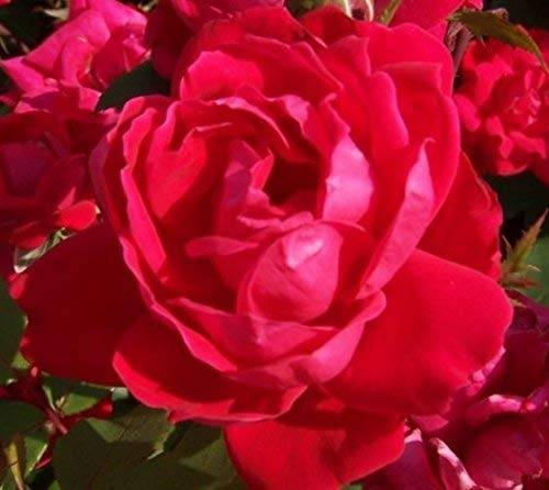 Red Double Knockout Rose - Live Plant - Full Gallon Pot