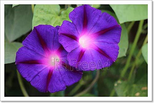 Purple Petunias Glowing夏に。用紙印刷壁アート 12in. x 18in. B078C52SPQ  12in. x 18in.