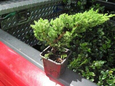 Procumbens Nana Juniper Bonsai Starter Evergreen Twenty Plants Tree Rare MHWK65