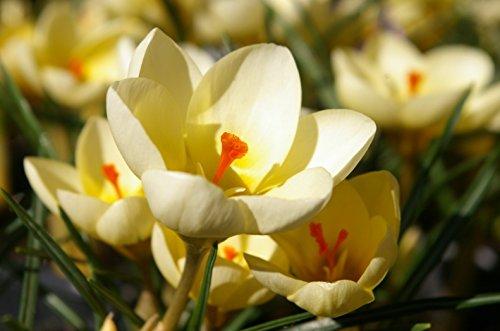 Fall Blooming Bulbs (Snow Crocus-- Fall Blooming! Cream Beauty 25 Fresh Bulbs)