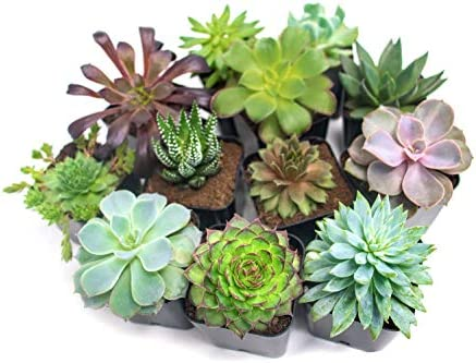 succulent-plants-12-pack-fully-rooted