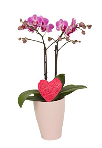 Color Orchids Live Double Stem Blooming Orchid Plant in Ceramic Pot, 15''-20'' Tall, Pink by Color Orchids