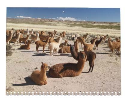 Llama Calendar - Best South America Images in Snow Capped Andes Mountains of Bolivia and Peru Photo #8