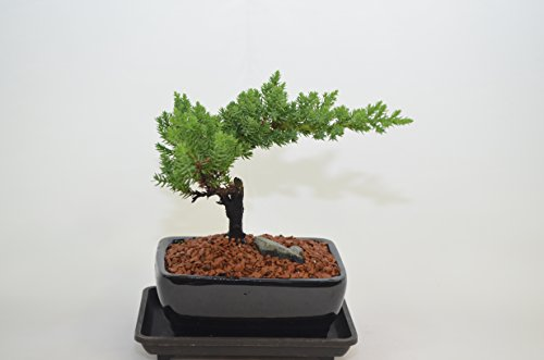 Japanese Juniper,Traditional Bonsai, Windswept Style, 2 Years Old, Free Watering Tray.