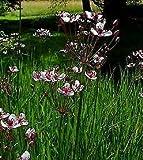 Butomus umbellatus Perennial Flowers Seeds 1,000 Pcs an