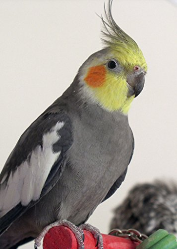 Image of 30 LB ABBA 1600C COCKATIEL BIRD SEED
