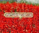 SAGE SCARLET Salvia Coccinea --- 500 Flower Seeds
