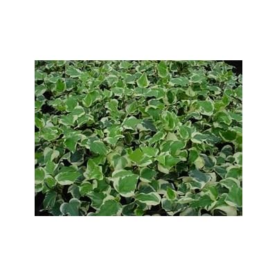 "(Flat of 18 Plants in 3.5"" Pots) Hedera algeriensis 'Gloire de Marengo' Variegated Algerian Ivy - Vining Ivy, Large, Glossy Leaves with Creamy-White Edge, Smooth Texture : Garden & Outdoor"