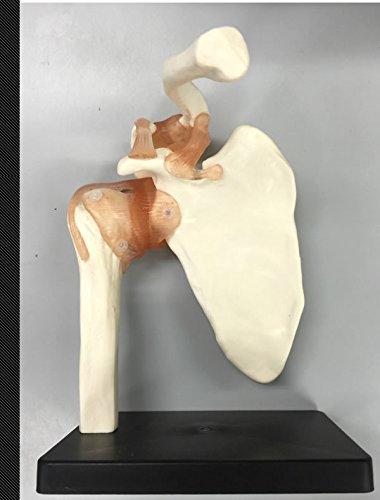 【初回限定】 【人体模型】右肩仕様 肩関節模型JM-050 B01D5MHUES 肩関節模型JM-050 B01D5MHUES, シルバー&レザーPLUS:68c72c5f --- a0267596.xsph.ru