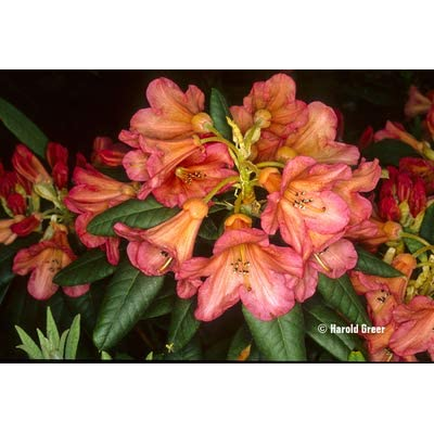 Rhododendron Fabia- Strong Yellowish-Pink, Shaded Orange in The Throat, Spotted Pale Brown Bloom- Grows Three Feet Tall (12-15