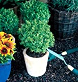 "Clovers Garden Boxwood Basil Plant – Two (2) Live Plants – Not Seeds –Each 4""-7""tall- in 3.5 Inch Pots"