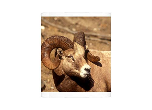 Mug of Male Bighorn Sheep (ovis cacadensis) Close-up (12618813)