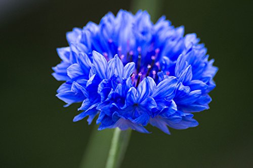 200 Dwarf Bachelor Button Seeds - Cornflower, Centaurea Cyanus - by RDR (Button Seed)