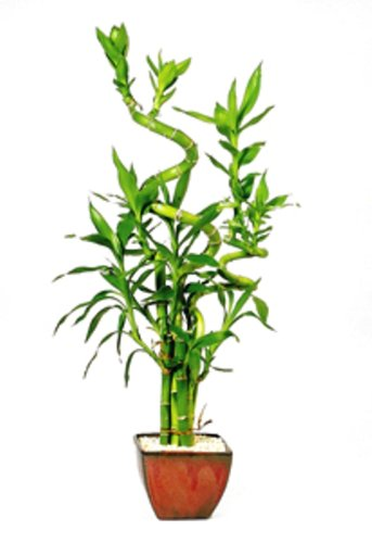 Brussel's Lucky Bamboo 7 Stalk Curly – Small – (Indoor)