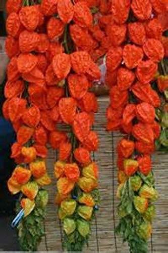 Chinese Lantern Plants - Chinese Lantern 15 Seeds! by Parahita Store
