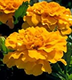 Heirloom 400 Seeds Tagetes Mexican Marigold Aztec Gold Yellow Flower Bulk Fresh Seeds B5133